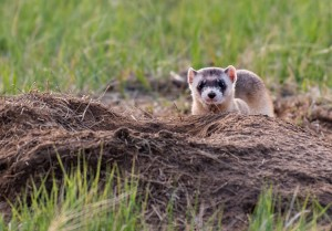 Black-footed ferret in the wild © Kerry Hargrove, Shutterstock
